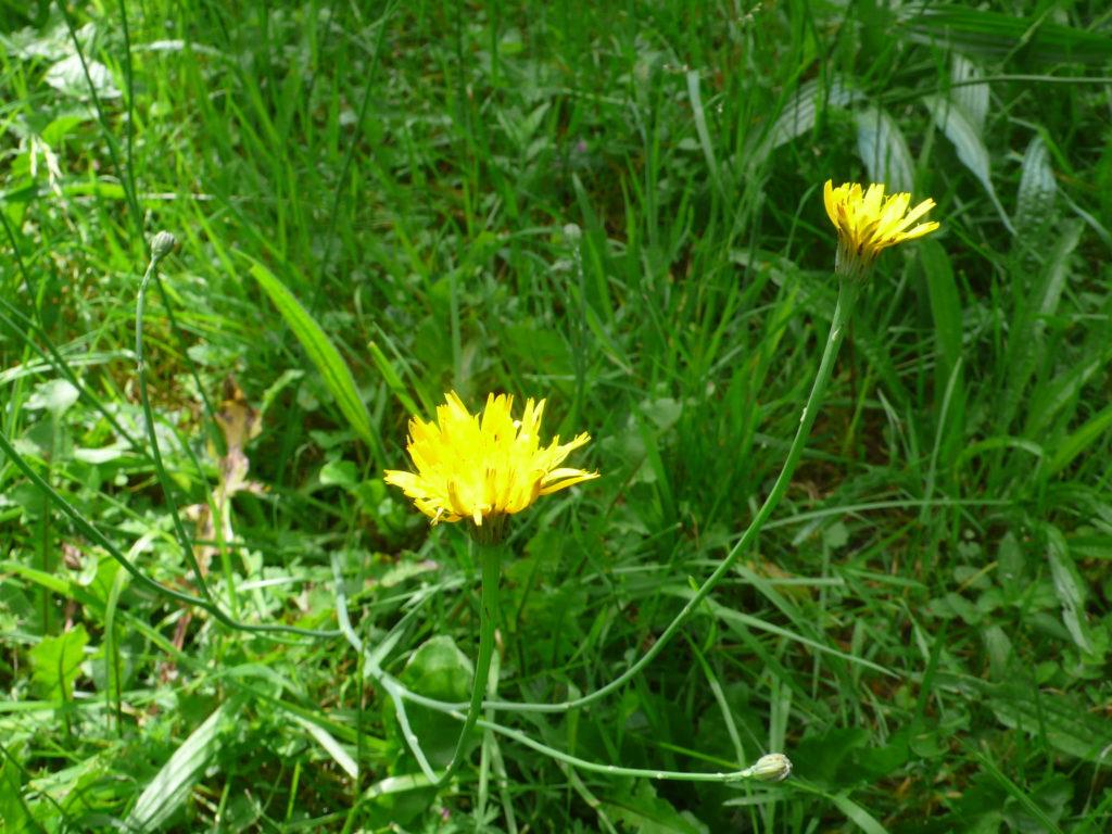 Gewöhnliches Ferkelkraut - Hypochaeris radicata Blüte und Stengel