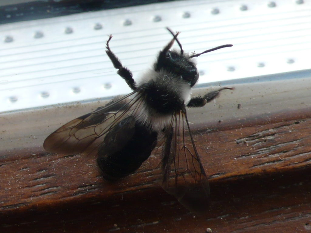 Graue Sandbiene - Andrena cineraria