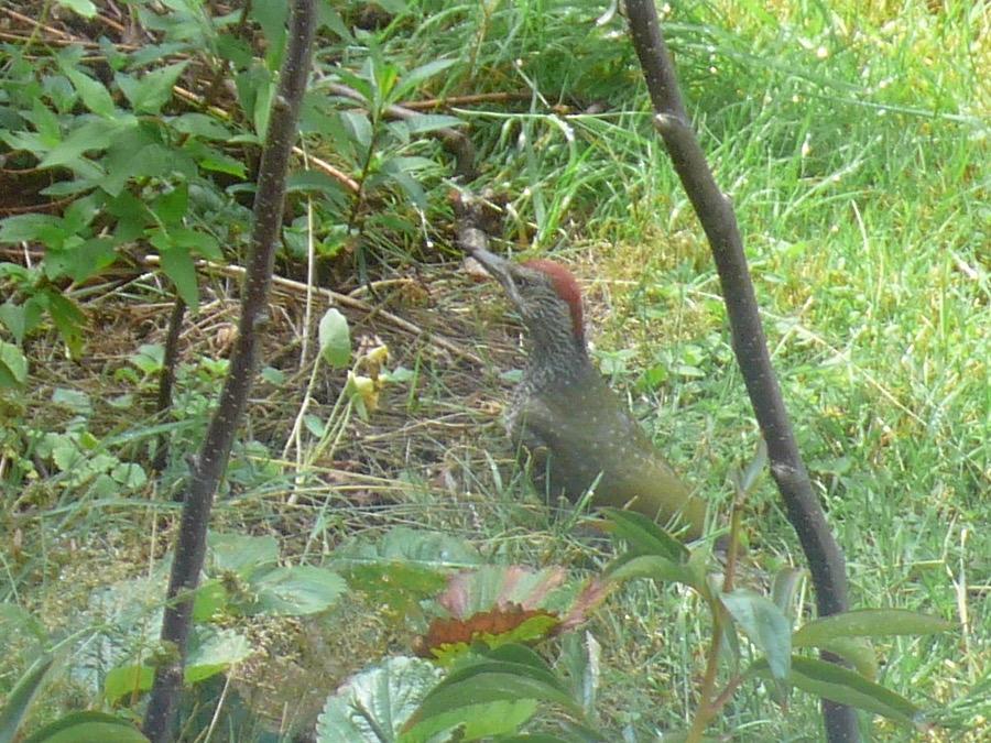 Jungvogel des Grünspechts - Picus viridis