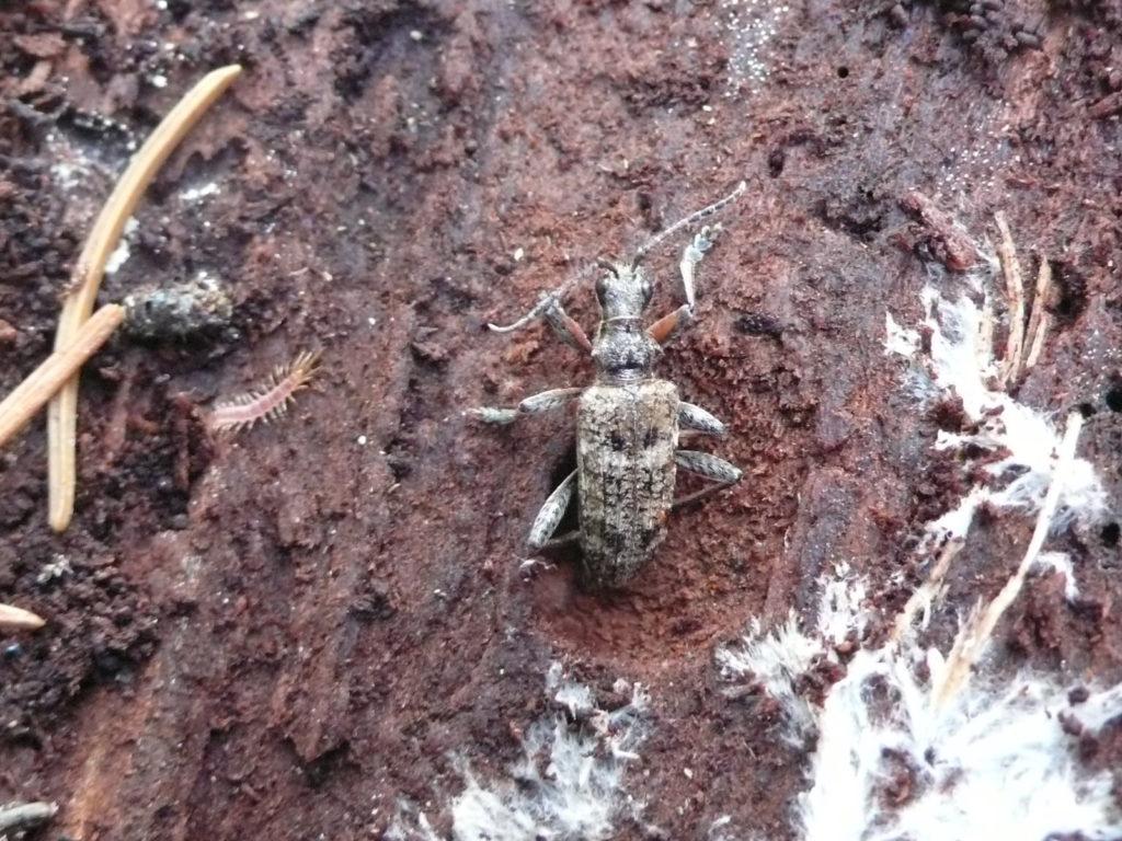 Kleiner Zangenbock - Rhagium inquisitor unter der Rinde eines gefällten Fichtenstammes