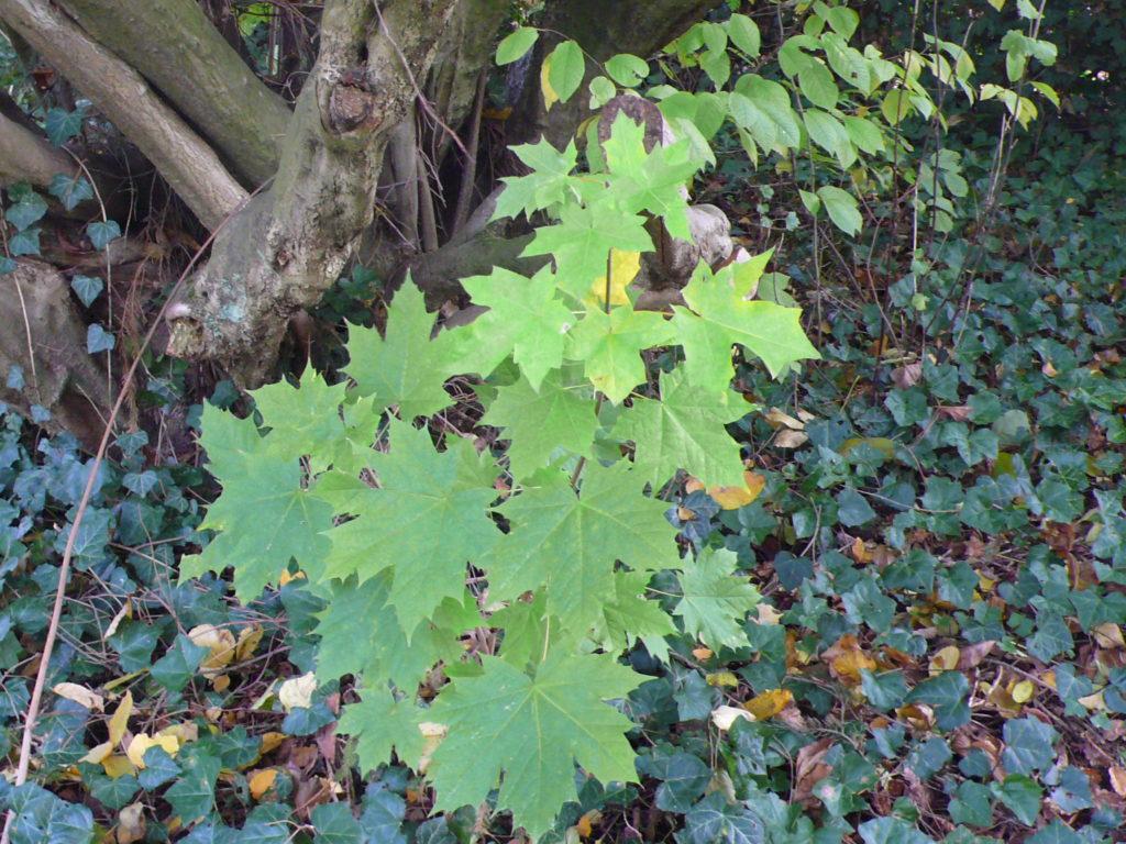 Spitzahorn - Acer platanoides im Halbschatten des Haselnussbaums