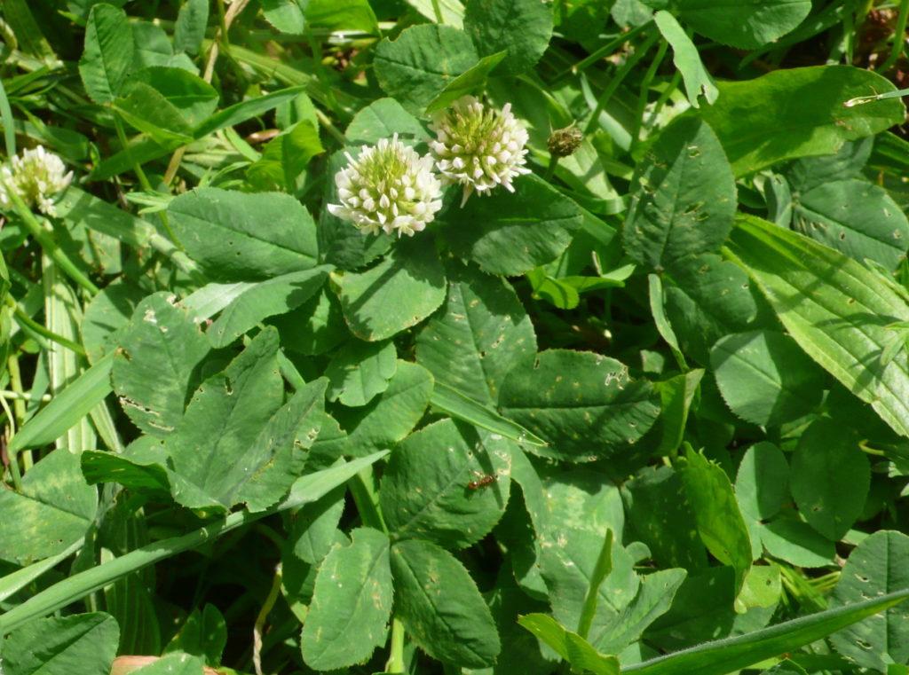 Weißklee - Trifolium repens auf dem Weg im Gemüsegarten
