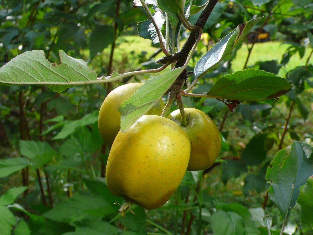 Äpfel der Sorte Ananas-Renette
