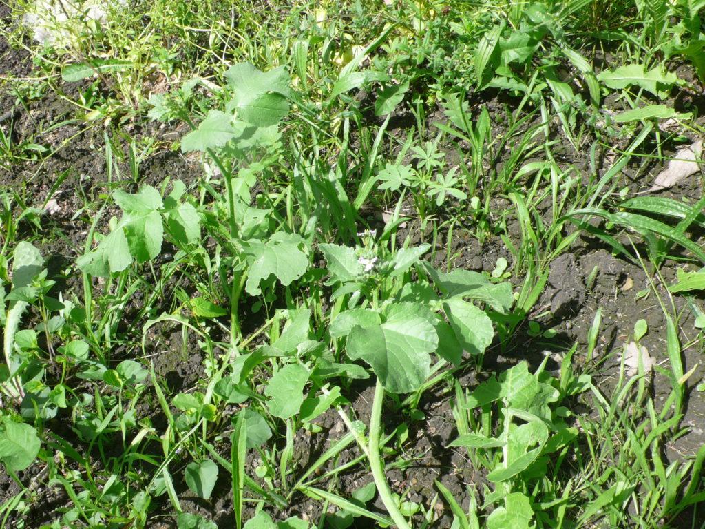 Gründüngung aus Lupine (Mitte rechts) und Ölrettich (vorne Mitte die großen Pflanzen) und sehr viel Unkraut