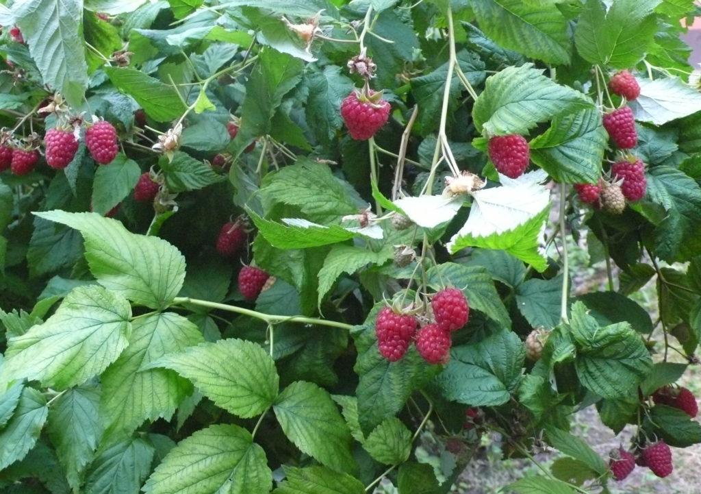 Himbeersträucher voller Früchte