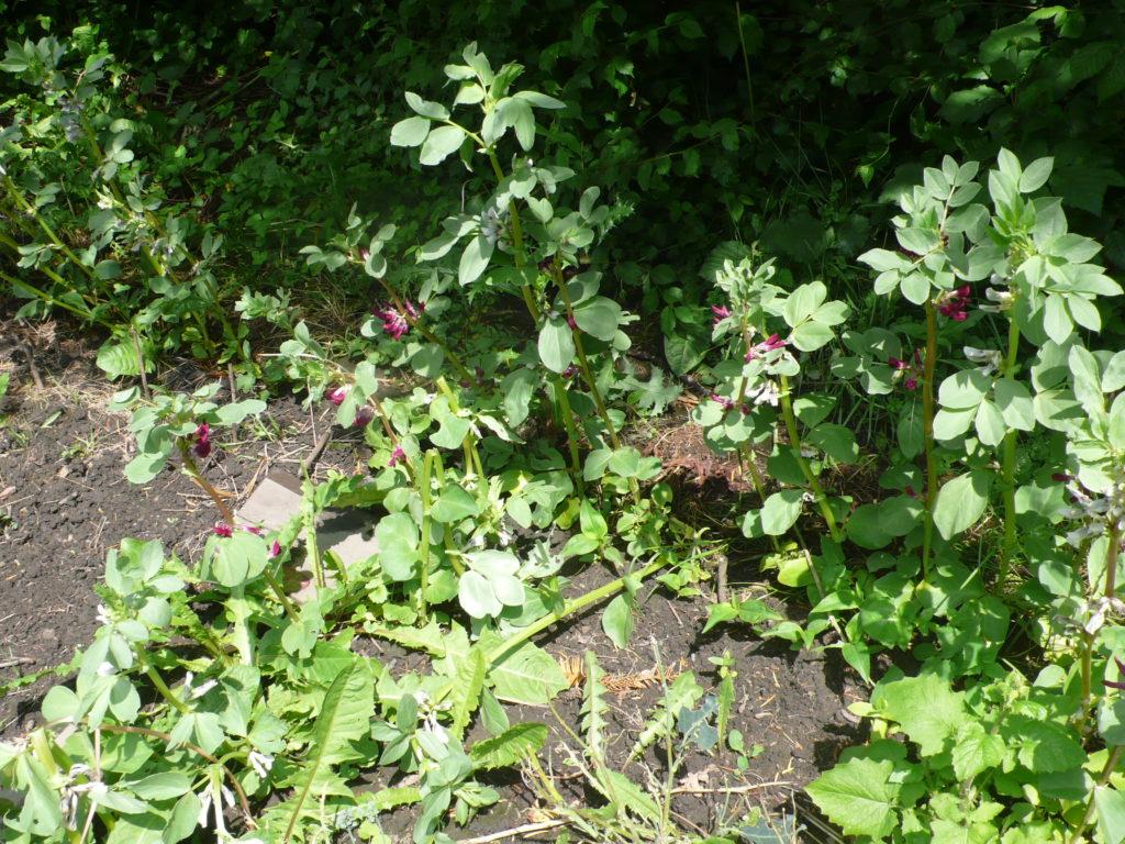 Rot und Weiss blühende Saubohnen mit Windschäden