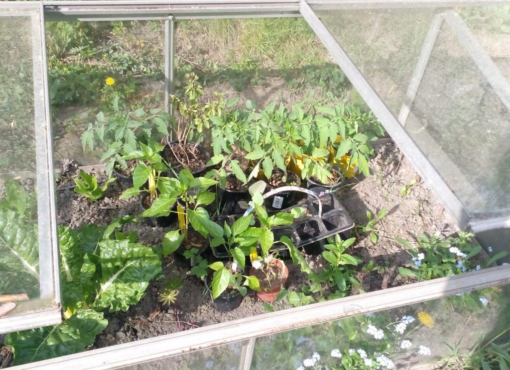 Jungpflanzen und Salat im Frühbeet am 19. April