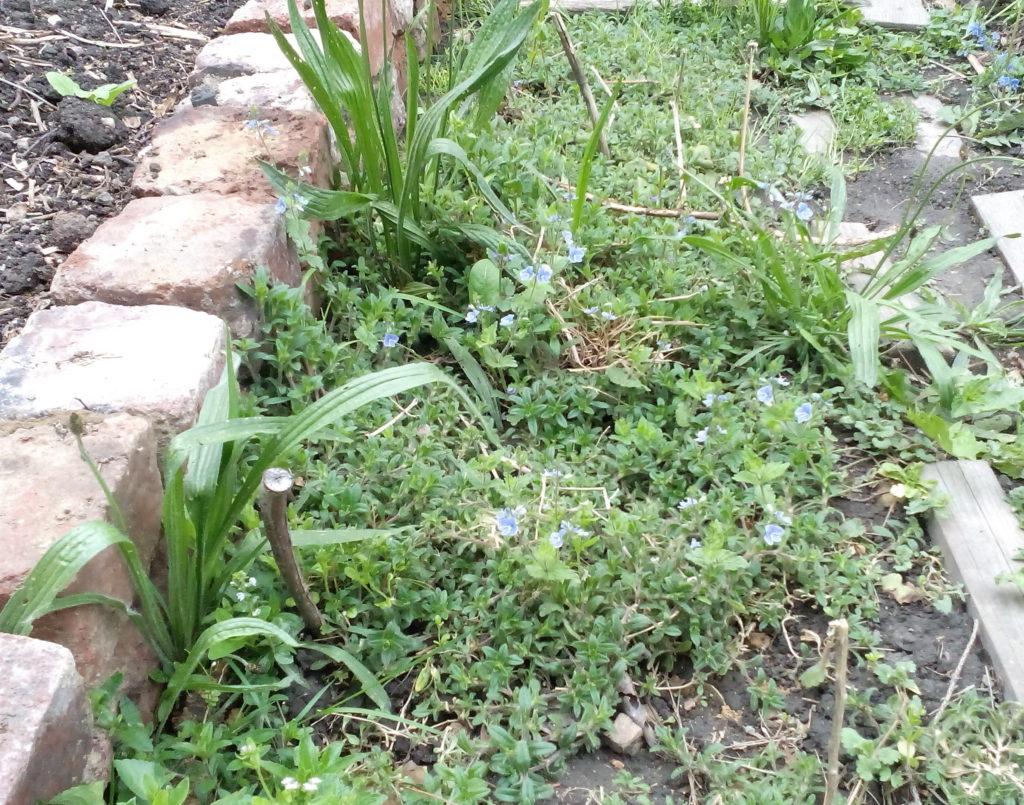 Ein brach liegendes Beet von Unkraut überwuchert als Bodenbedeckung