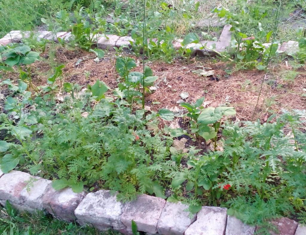 Gründüngung im Spargelbeet auf Rucola, Phacelia, Buchweizen, Weißklee und Ölrettich