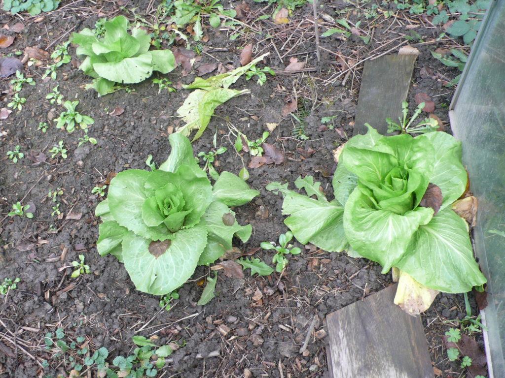 Zuckerhut-Salat Mitte Dezember mit Feldsalat als Untersaat