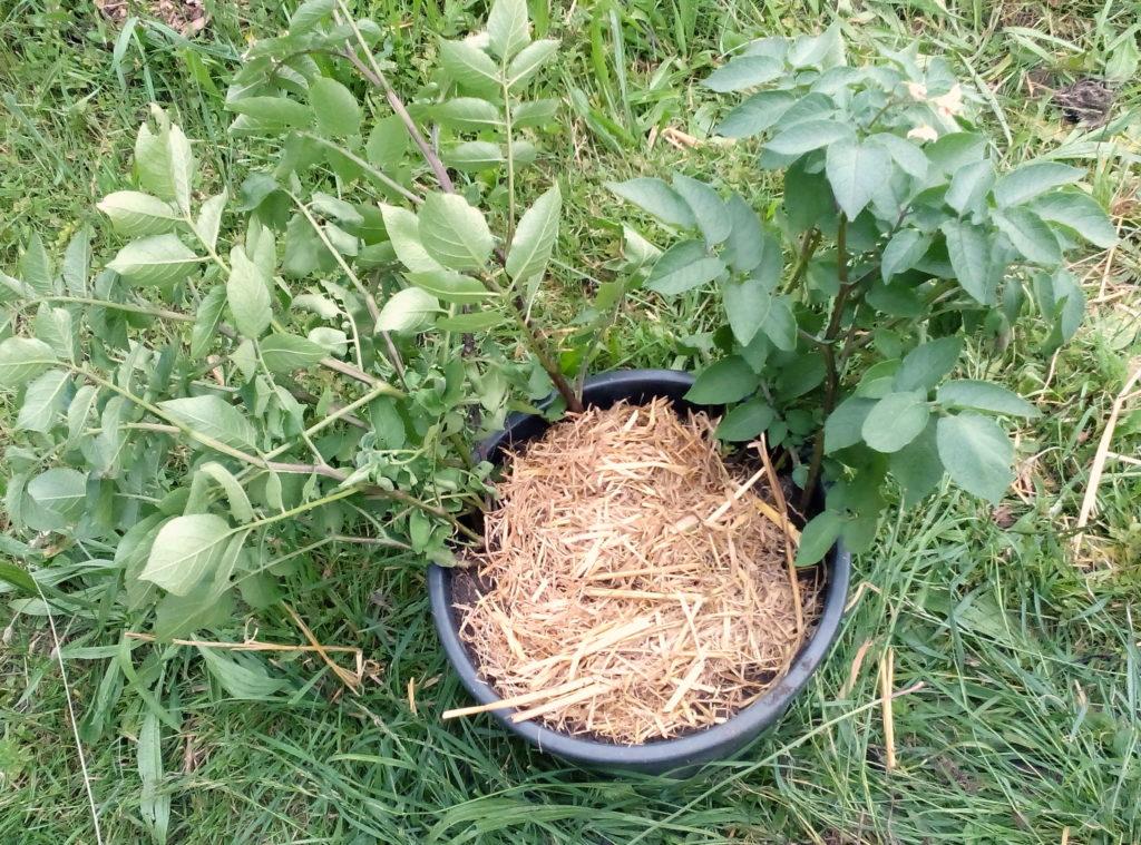 Kartoffelkübel mit Mulch aus Stroh