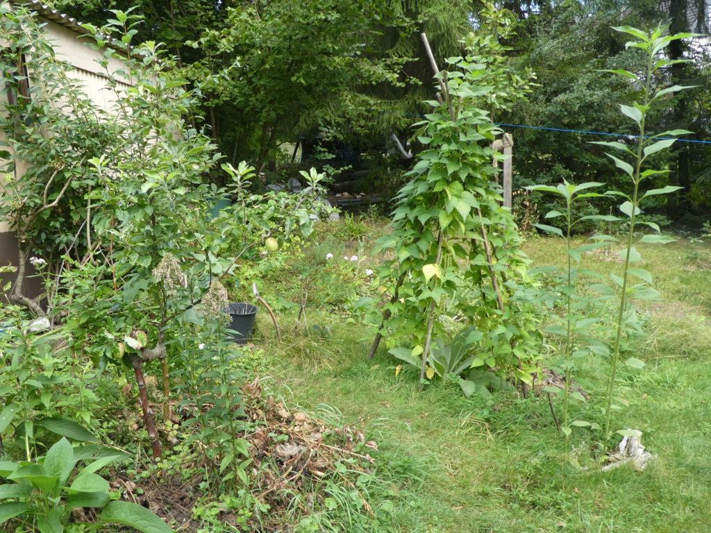 Apfelbäume, Stangenbohnen und Topinambur im Waldgarten