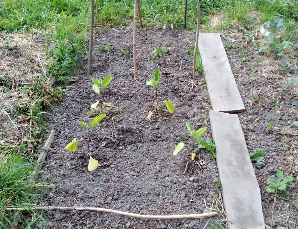 Freiland-Auberginen nach der Pflanzung Mitte Mai