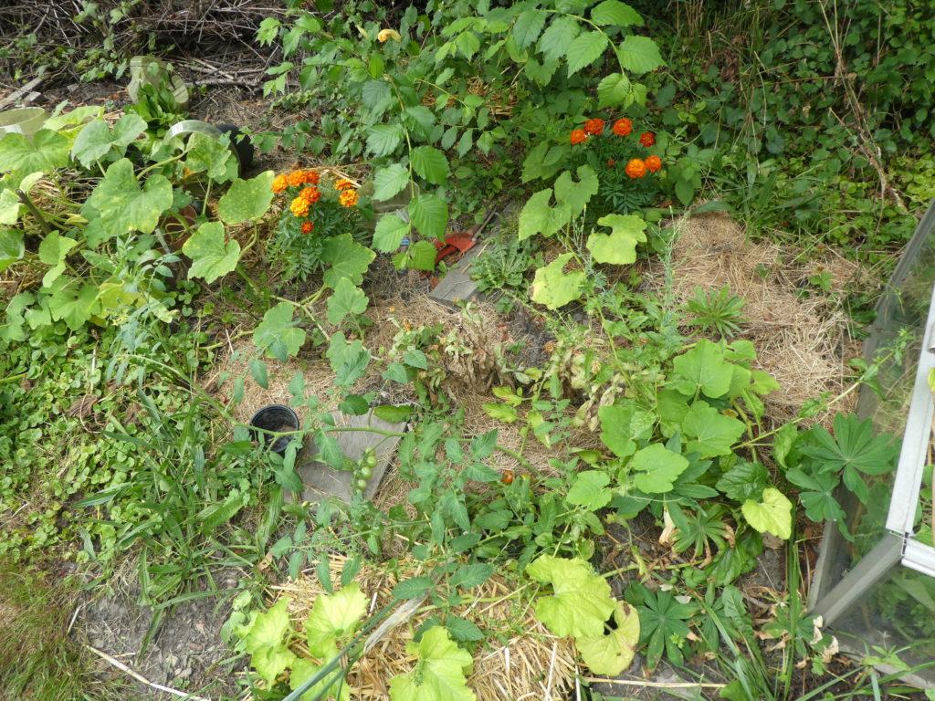Schlecht wachsende Kürbispflanzen