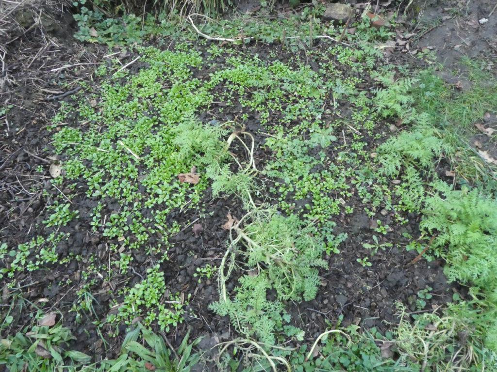 Feldsalat als essbare Gründüngung und dazwischen Phacelia