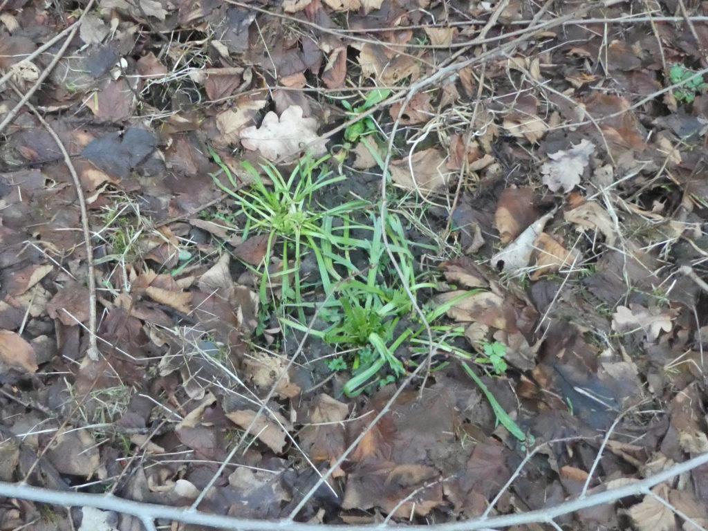 Laubmulch auf dem Gemüsebeet, beschwert mit Ästen. In der Mitte steht Hirschhornwegerich als Wintersalat