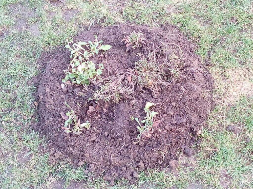 Umgedrehte Grassoden bepflanzt mit Vergissmeinnich Oregano und Zimbelkraut