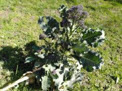 Pflanze vom Sprossen-Brokkoli vor der Ernte